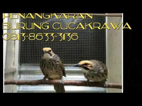 081386333136,Jual burung cucakrawa murah,berkualitas,bagus di jakarta indonesia
