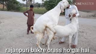 date:2:4:2019 / 03166742021 rajanpuri bakre crass ho gai hai Muhammad pur mandi bakra mandi