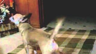 """Chihuahua Barking At Christmas Song (singing Dogs Barking """"jingle Bells"""")"""