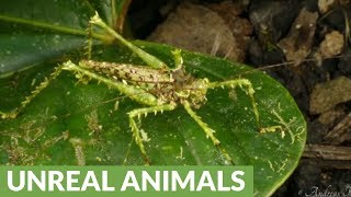 Rainforest grasshopper is a master of disguise