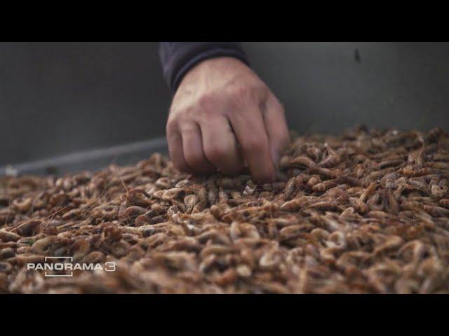 Krabbenfischer in Existenznot  | Panorama 3 | NDR