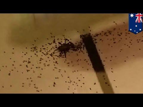 Spider explodes and hundreds of babies spread across Australian man's floor