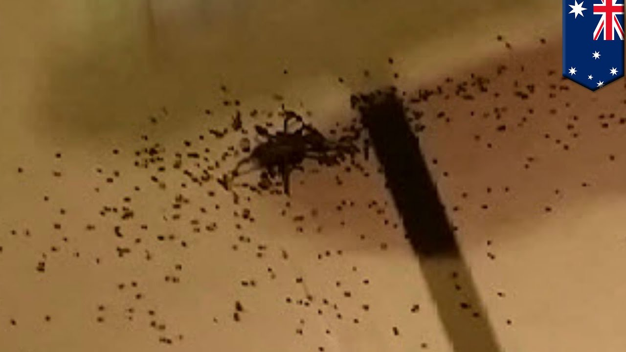 Spider Explodes And Hundreds Of Babies Spread Across