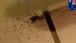 Spider explodes and hundreds of babies spread across Australian men