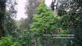 Taxodium distichum video