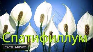 Смотреть видео цветок орхидея стал зеленеть