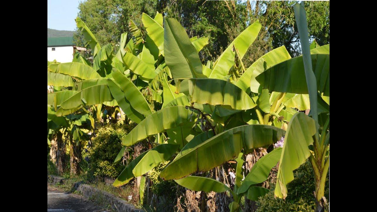 Banano platano musaceae plantas ornamentales youtube for Banano de jardin
