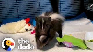 Baby Skunk Does The Cutest Stomps | The Dodo Little But Fierce