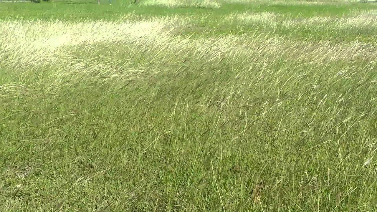 Dancing grass in the wind youtube for Like long grasses
