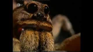 Spinnen - Tödliche Liebe