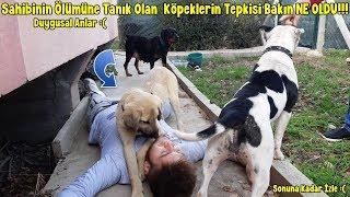 Sahibinin Ölümüne Tanık Olan Kangal,Rottweiler Amstaff Cinsi Köpeklerin Tepkisi Bakın Ne Oldu !!!