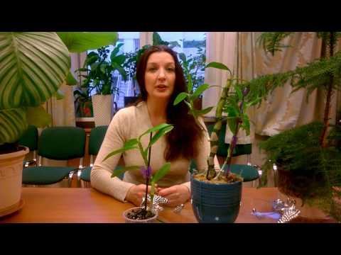 Размножение орхидеи в домашних условиях - Комнатные