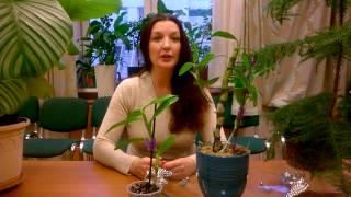 Размножение орхидеи ДЕНДРОБИУМ НОБИЛЕ _ СОВМЕСТНЫЙ ПРОЕКТ С  каналом ХОББИ УРАЛЬЦА _(Это совместный проект моего канала с каналом