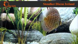 Discus.ie - Stendker Brilliant Turkis size from 5 cm up to Jumbo(