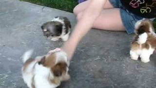 Teacup Shih tzu Puppies www.sweettoothshihtzu.com