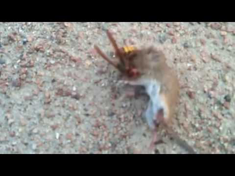 A bee killing a rat