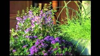 Home Gardener - Proven Winners® Angelface® Blue Angelonia