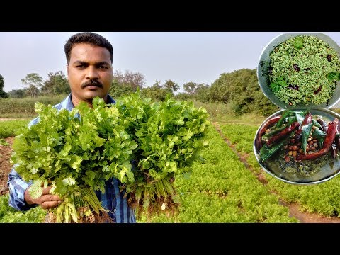 FARM FRESH Coriander Rice and chutney | Amazing Taste | VILLAGE FOOD