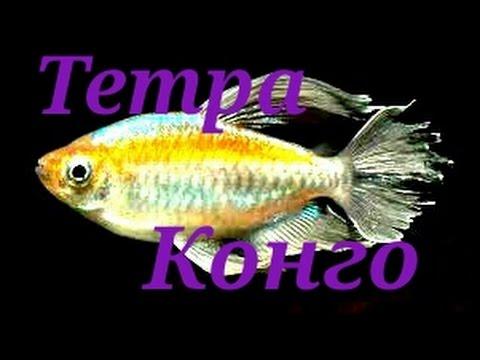 Аквариумные рыбки.Тетра Конго.