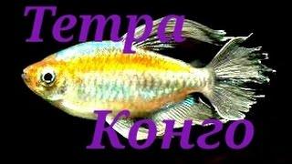 Аквариумные рыбки.Тетра Конго.(Конго (лат. Phenacogrammus interruptusочень мирная, стайная рыбка, которая вырастает до 8.5 см. Для стаи этих рыбок нужен..., 2016-04-16T03:45:03.000Z)
