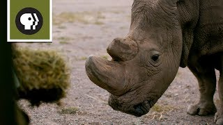 How Sudan Became the Last Male Northern White Rhino thumbnail