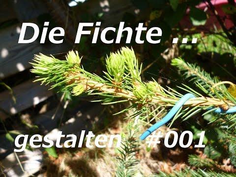 Prächtig Yamadori Bonsai Fichte gestalten bzw. Drahten ( Picea abies #NQ_82