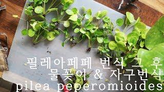 필레아페페 번식 결과 / 수경재배 / 초보 식물 추천 …