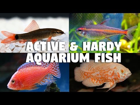 Most Active And Hardy Aquarium Fish