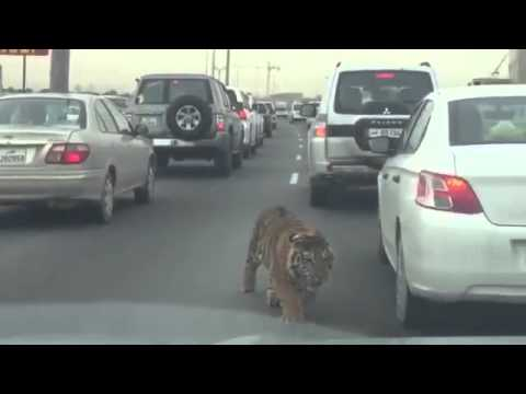 Tiger Jumped & Escaped from Moving Truck & Roaming In Qatar Highway