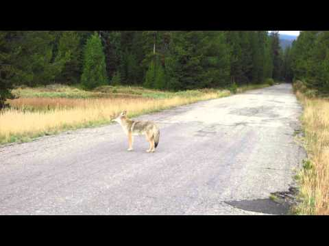 Howling coyote on John D Rockafeller Park Way, Yellowstone National Park