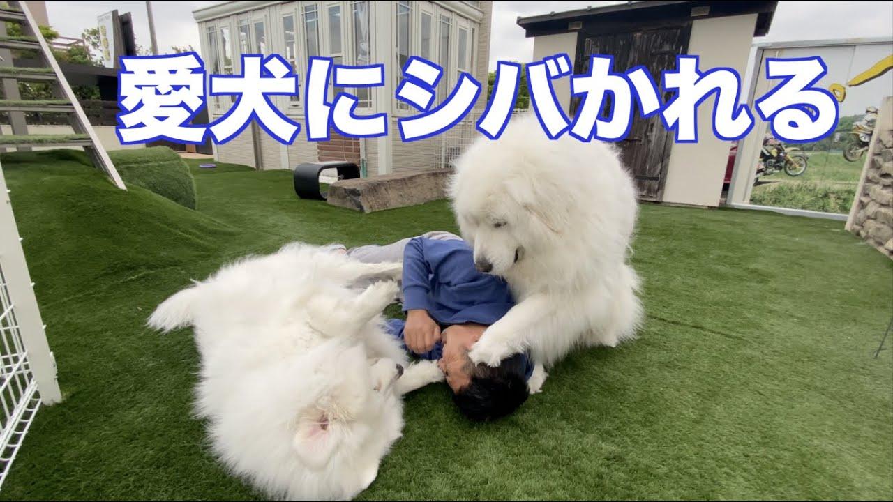口臭に?逃げ回るグレートピレニーズ&MIX犬