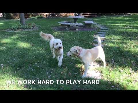 Lab, Molly! Labrador Dog Training in DC, Va, MD   Off Leash Dog Trainers