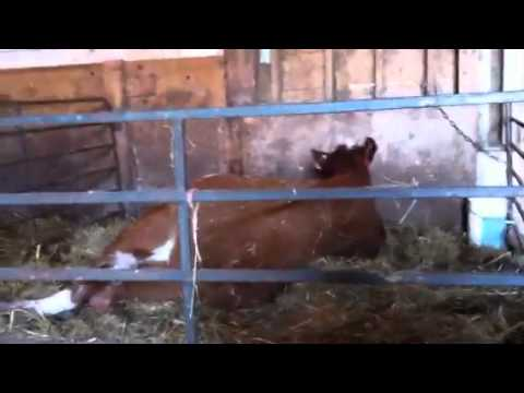 Cow farts while giving birth