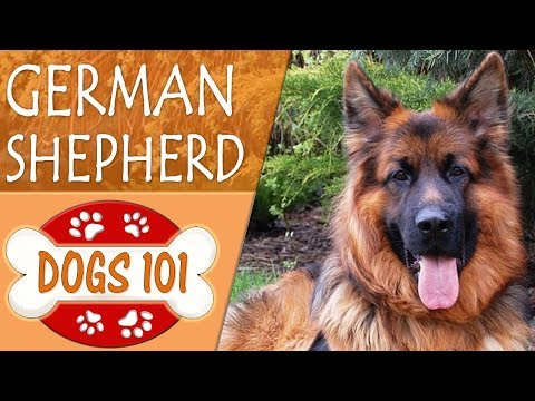 Dogs 101 - GERMAN SHEPHERD - Top Dog Facts About the GERMAN SHEPHERD