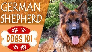 Dogs 101  GERMAN SHEPHERD  Top Dog Facts About the GERMAN SHEPHERD