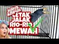 Jurus Ampuh Cetak Jalak Rio Rio Mewah  Mp3 - Mp4 Download