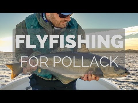Fly Fishing for Pollack
