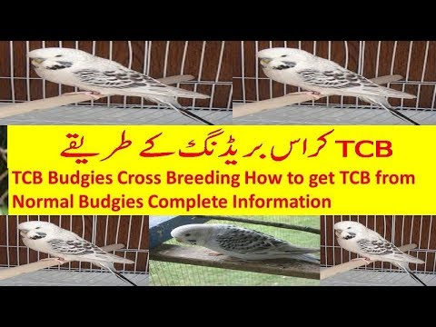 TCB Budgies Cross Breeding How to get TCB budgies from Normal budgies