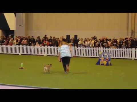 Bramble the border terrier YKC Freestyle Crufts 2017
