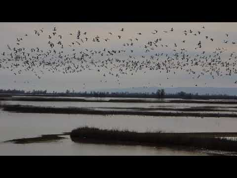 00033 Snow Geese at the Sacramento National Wildlife Refuge