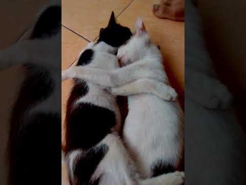 Kucing oyes Karo golongan😍😂