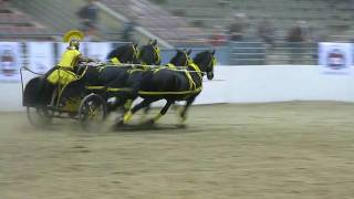 Roman Chariot race with teams of Friesians at the 25th Anniversary ...