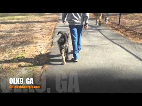 Off Leash Heeling at 5 Month Old! Rockstar! | Goldendoodle | Best Georgia Dog Trainers