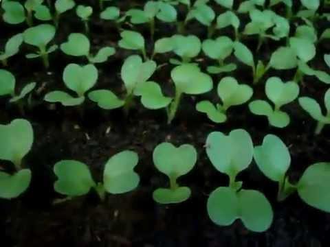 видео: Как вырастить рассаду капусты. Пикировка рассады капусты.