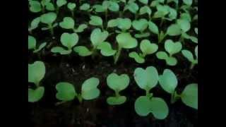 Как вырастить рассаду капусты. Пикировка рассады капусты.(Как правильно выращивать рассаду капусты. как правильно пикировать рассаду капусты. Белокочанная капуста...., 2015-04-09T12:52:10.000Z)