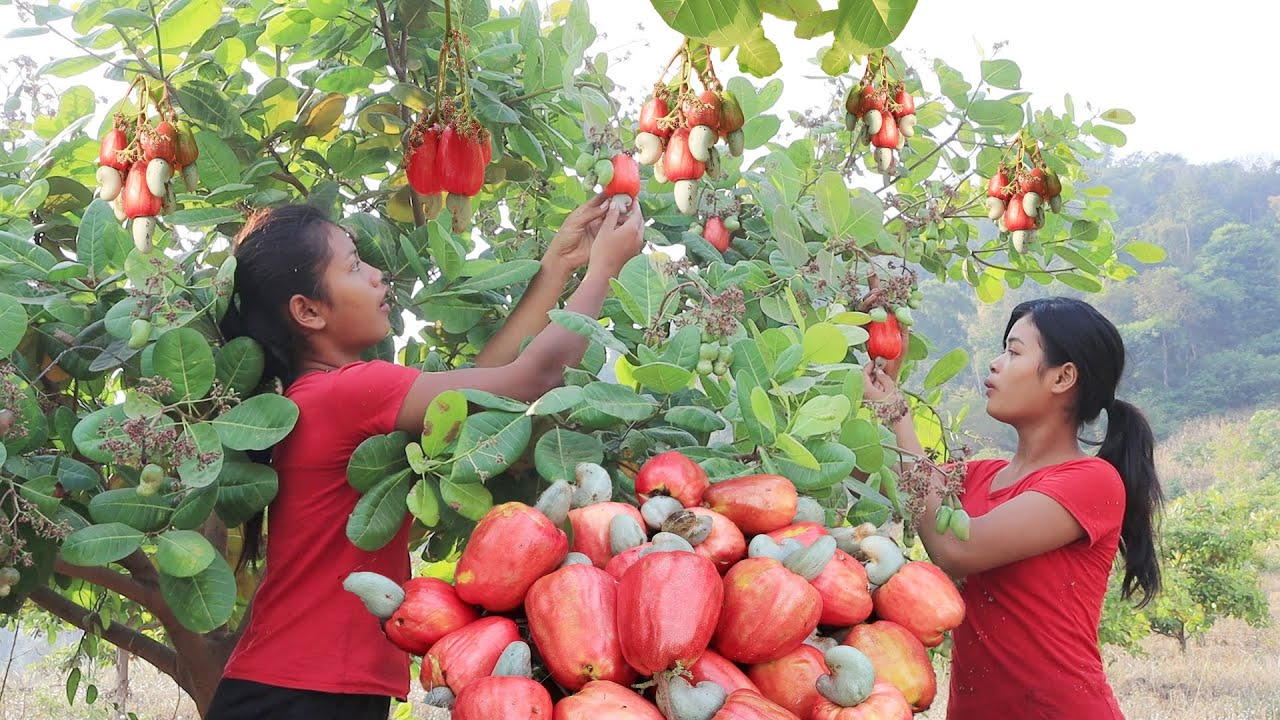 Survival skills in forest: Find meet Cashew fruit for food and Eating delicious