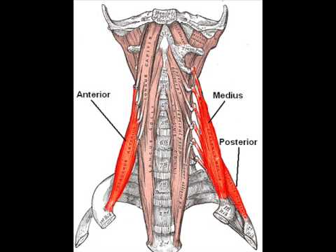 scalene muscles - youtube, Human Body