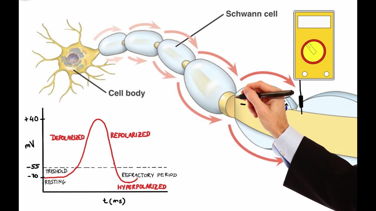Download NEURON ACTION POTENTIAL (MADE EASY)