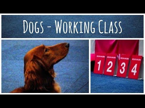 World Dog Show 2017 | Standard Dachshund long-haired (Dogs - Working Class)