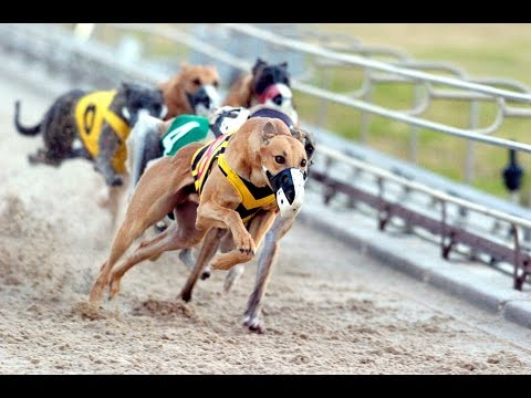 Greyhounds racing, Belle Vue Greyhound Stadium, Manchester, England, United Kingdom